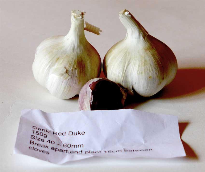 Red Duke garlic
