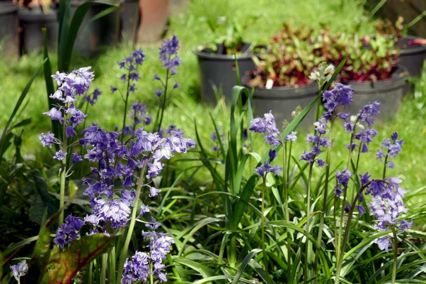 Spring has sprung: Bluebells