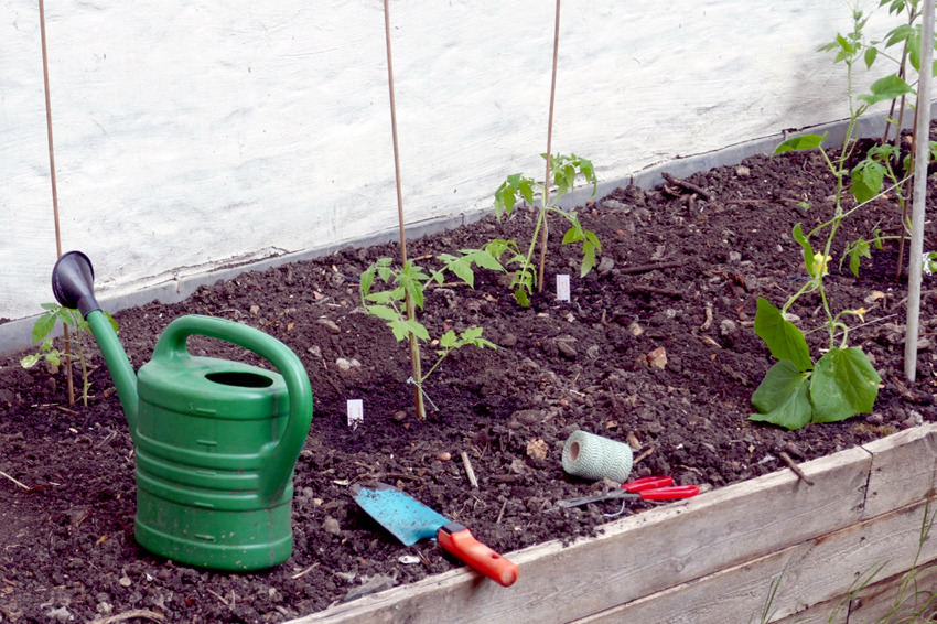 First tomato planting with watering can in raised bed