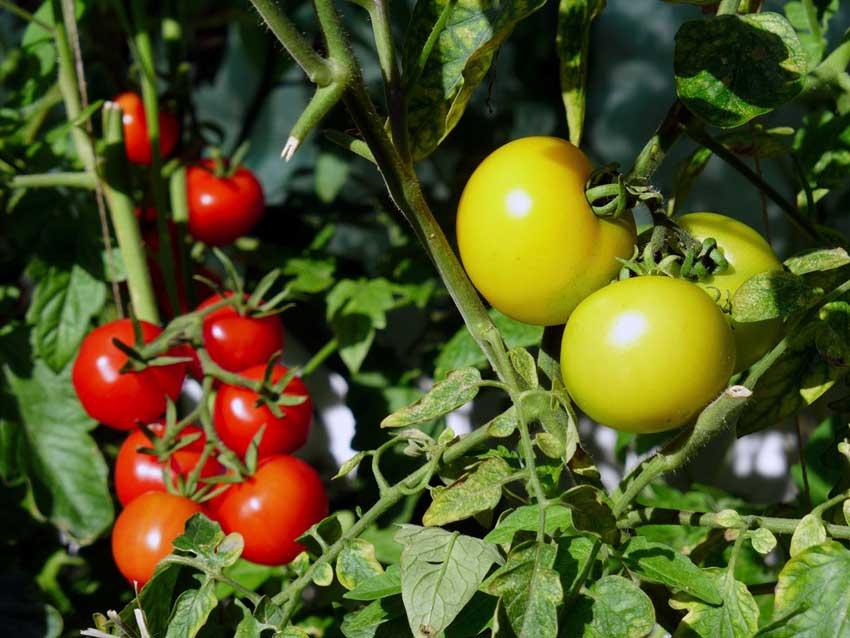 Regular city tomatoes