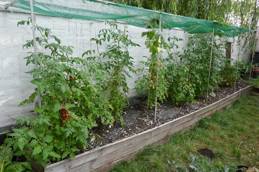 Tomato plants in a raised bed