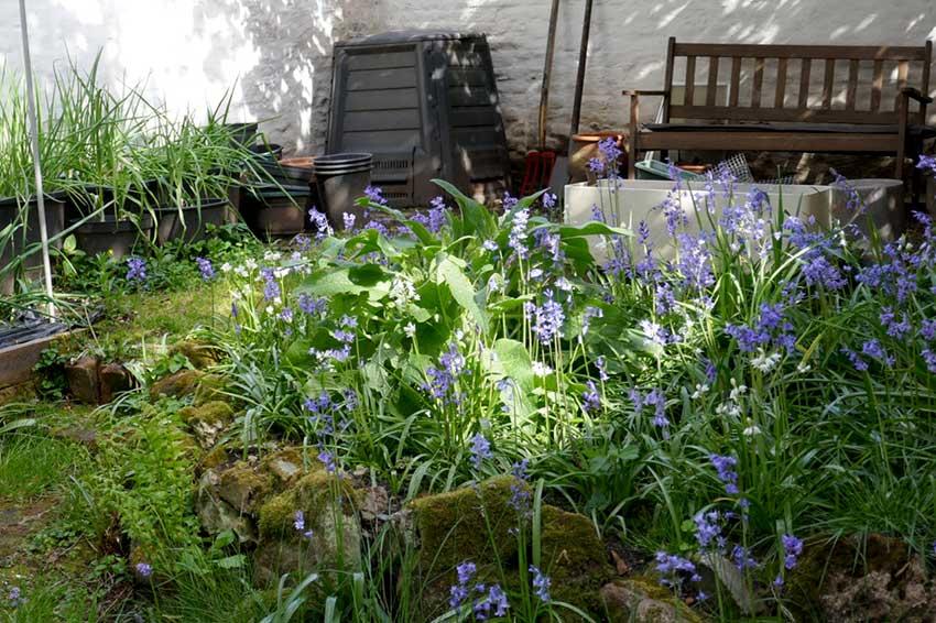 Spring Bluebells in bright sunlight