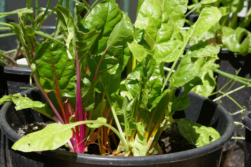 Potted Summer Chard