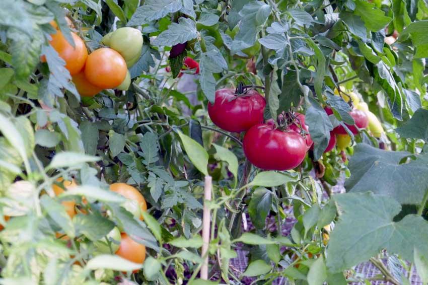 Tomato Gallery 2