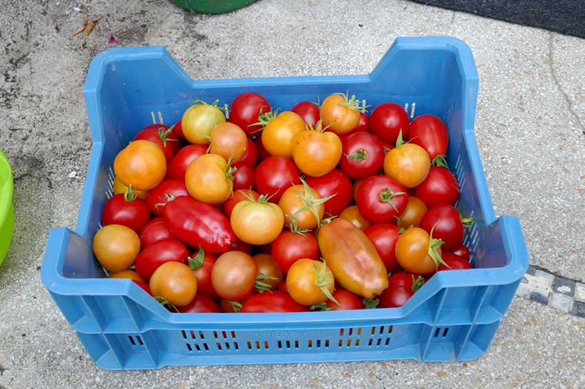 Tomato harvest in a plastic container