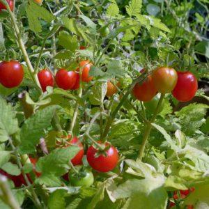 Determinate type tomato
