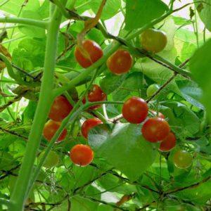 Vine tomato