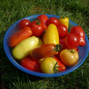 Good year for tomatoes
