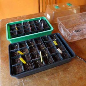 Starting tomatoes
