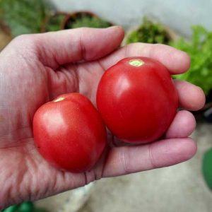 Chalma fruits