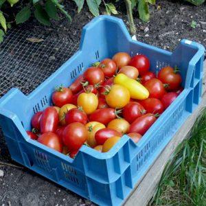 Harvest glut