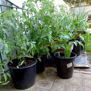 May 2018 Tomato pots