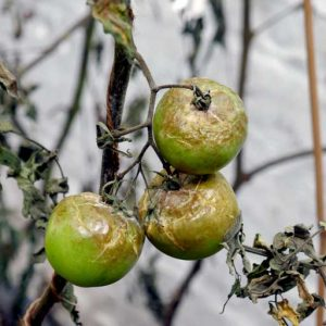 Blighted fruits