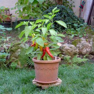Sweet Banana plant