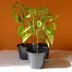 3 Pepper plants
