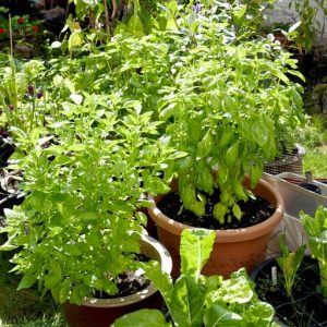 French and Italian basil