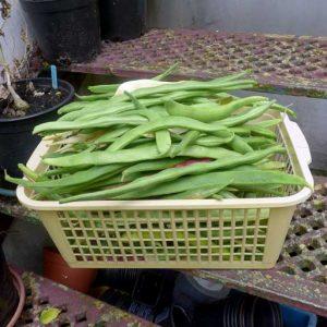 Large harvest