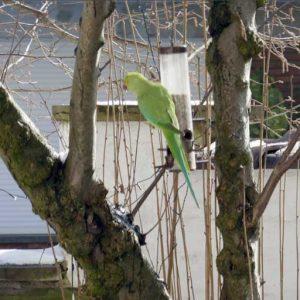 Local parrots