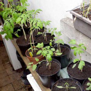 Tomatoes hardening off