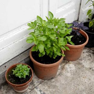 French and Greek basil
