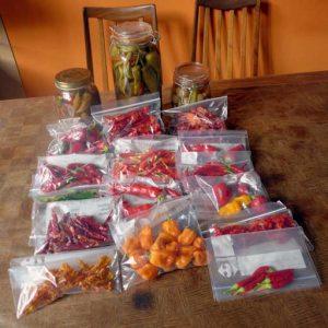 Chilli pepper harvest