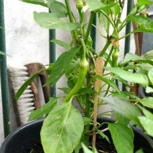 First sweet pepper