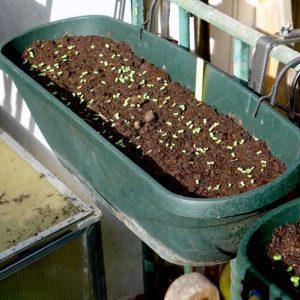 Wait for germination