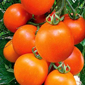 Tomato Kolyadnik