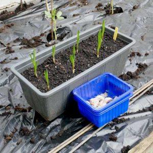 Starting garlic