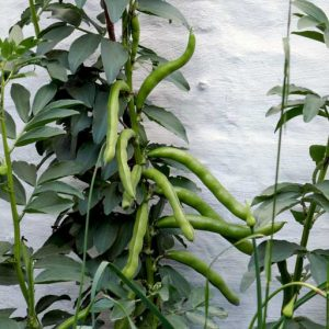 Winter planted broad beans