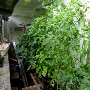 Basement tomatoes