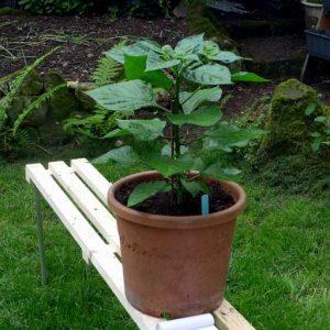 Fatalii plant