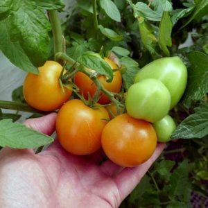 Kolyadnik fruits