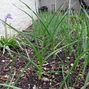 Garlic still growing