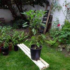 Joe's Long Chilli plant