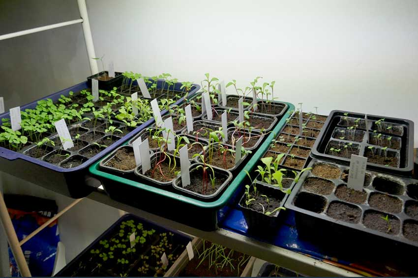 Seedlings in small pots inside larger containers under artificial lights