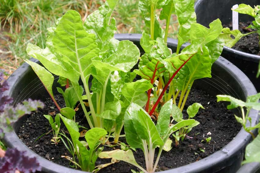 Chard with lettuce in same pot