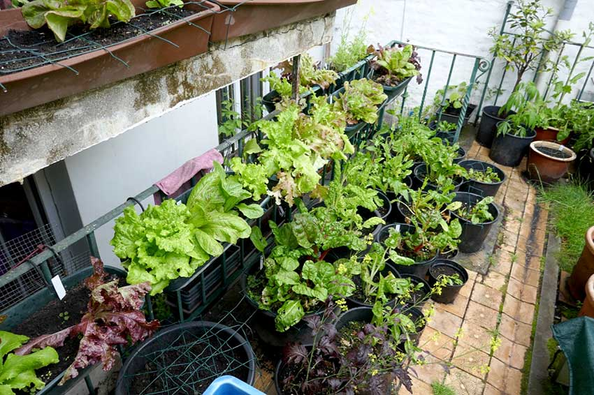 Salads and chard in various size pots on multiple levels