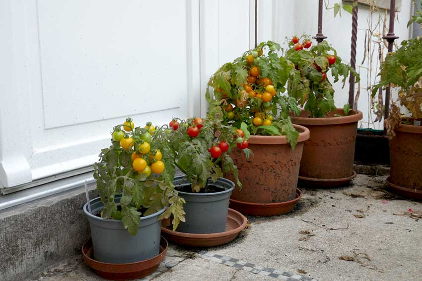 Small pots with various types of tomato plants