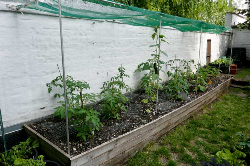 Tomatoes and cucumbers in a raised bed