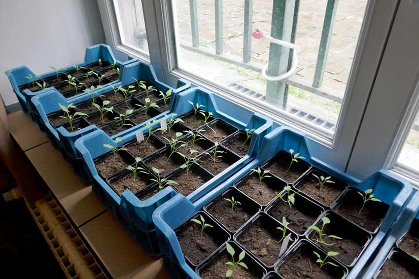 Seedlings in pots sitting on a windowsill