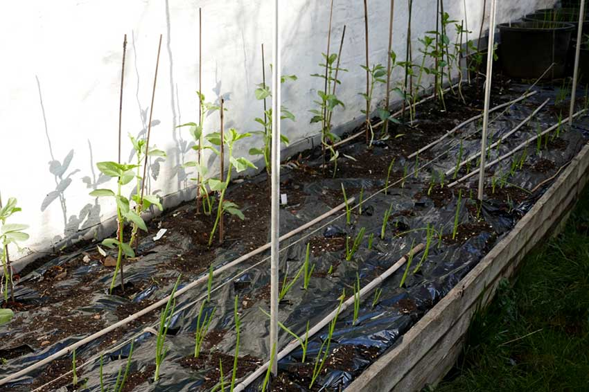 Winter crops in a raised bed