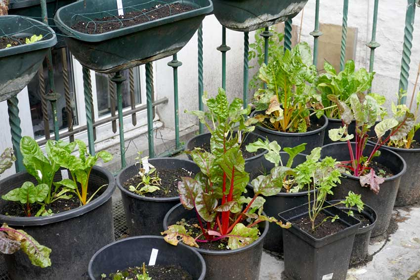 Multiple pots with chard plants in each one.