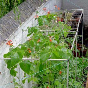 Beans on netting