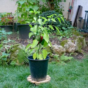 Jalafuego plant