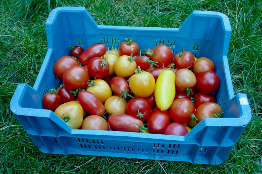 Mixed tomato harvest