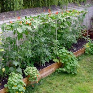 Tomatoes under beans