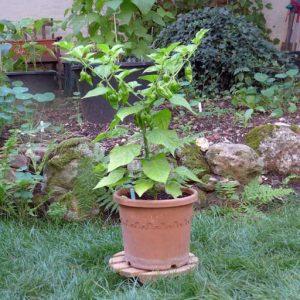 Paper Lantern plant