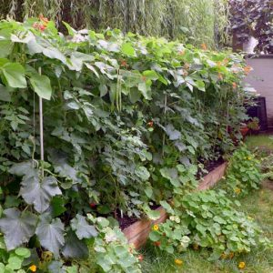 Summer shade for tomatoes