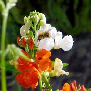 Bees love bean flowers